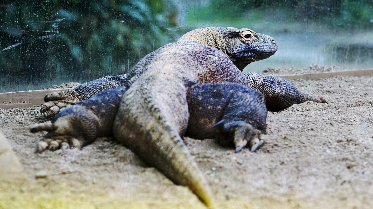 Una pareja de dragones de Komodo del Zoo de Barcelona, Guntur y Asmara, se aparean en 2012, en la hasta ahora única cópula de esta especie acontecida en Barcelona.