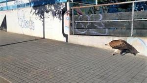Albirat un voltor als barris de la Morera i Bufalà de Badalona
