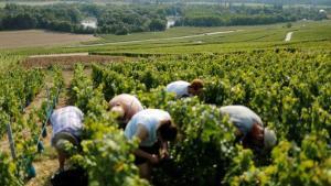 Trabajadores en un viñedo francés.