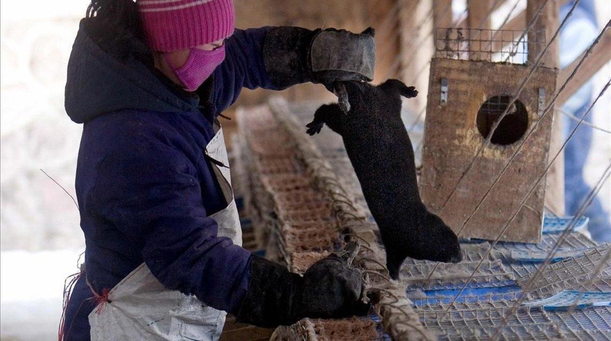 Un trabajador saca un visón negro en una granja situada en la ciudad china de Changchun.