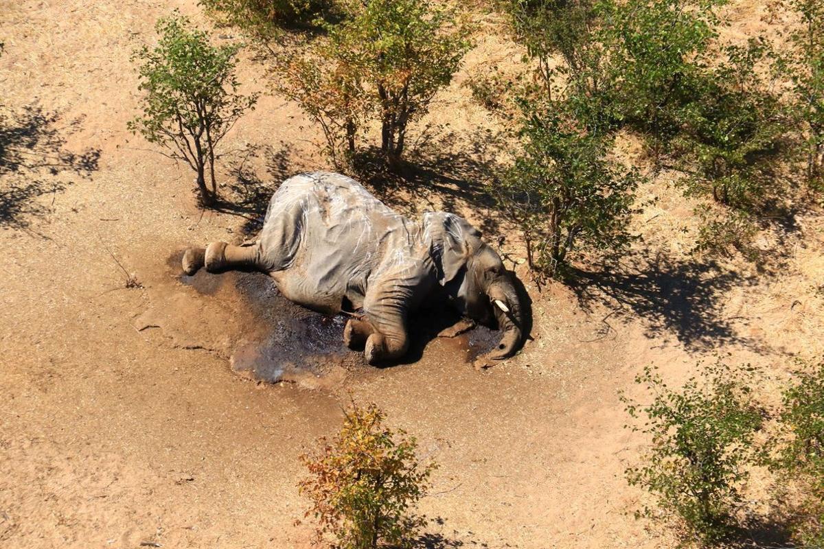 Uno de los elefantes encontrados muertos en el delta de Okavango (Botsuana).