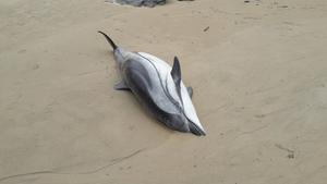 Uno de los delfines que ha aparecido en la playa de Oyambre, en Cantabria.