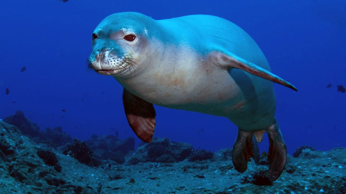 Kostis, la foca monje del Mediterráneo.