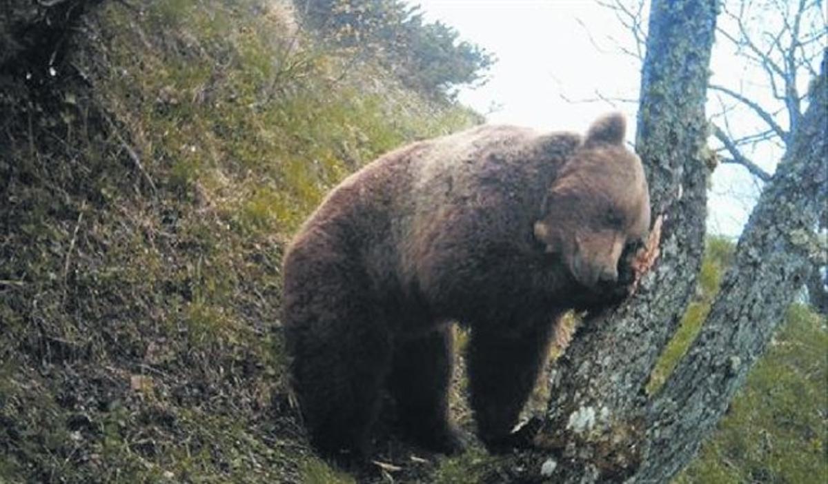 Balou, l'últim mascle alliberat al Pirineu, fotografiat poc abans de la seva mort el juny de l'any passat. No va aconseguir mai reproduir-se.
