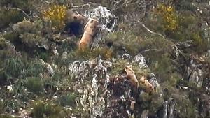 El vídeo del encuentro de un macho con una hembra y sus dos oseznos en la Cordillera Cantábrica.
