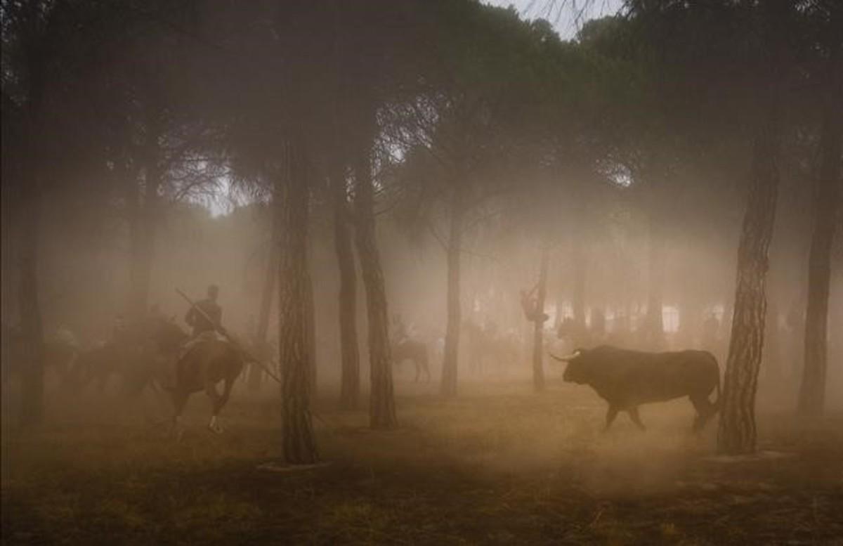 El Toro de la Peña, en el campo de la vega del Duero, conducido hasta el corral por los caballistas.
