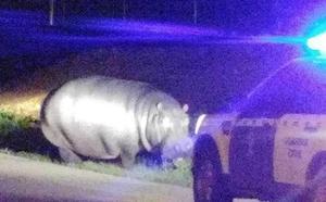 Un hipopótamo se fuga en Bajadoz y acaba atrapado por la Guardia Civil