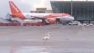 Un flamenco rosa en la pista del aeropuerto de Son Sant Joan