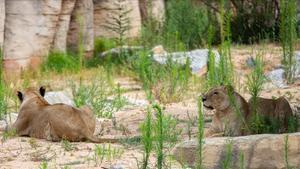 Dos leonas en la nueva zona habilatada para ellas en el epicentro del Zoo de Barcelona.