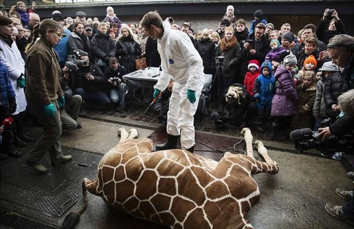 Sacrificio con público de una jirafa en el zoo de Copenhague, en diciembre del 2014. El animal fue devorado despuéspor los leones.