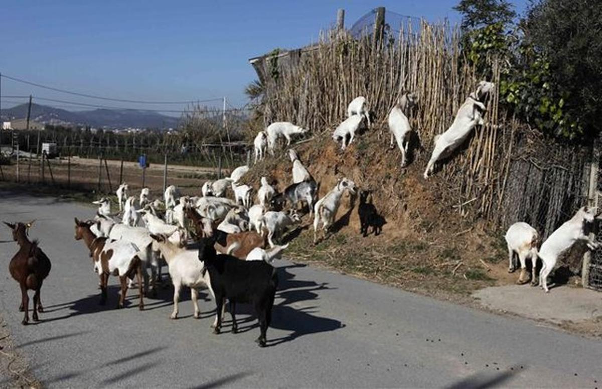 Cabras en El Prat de Llobregat.