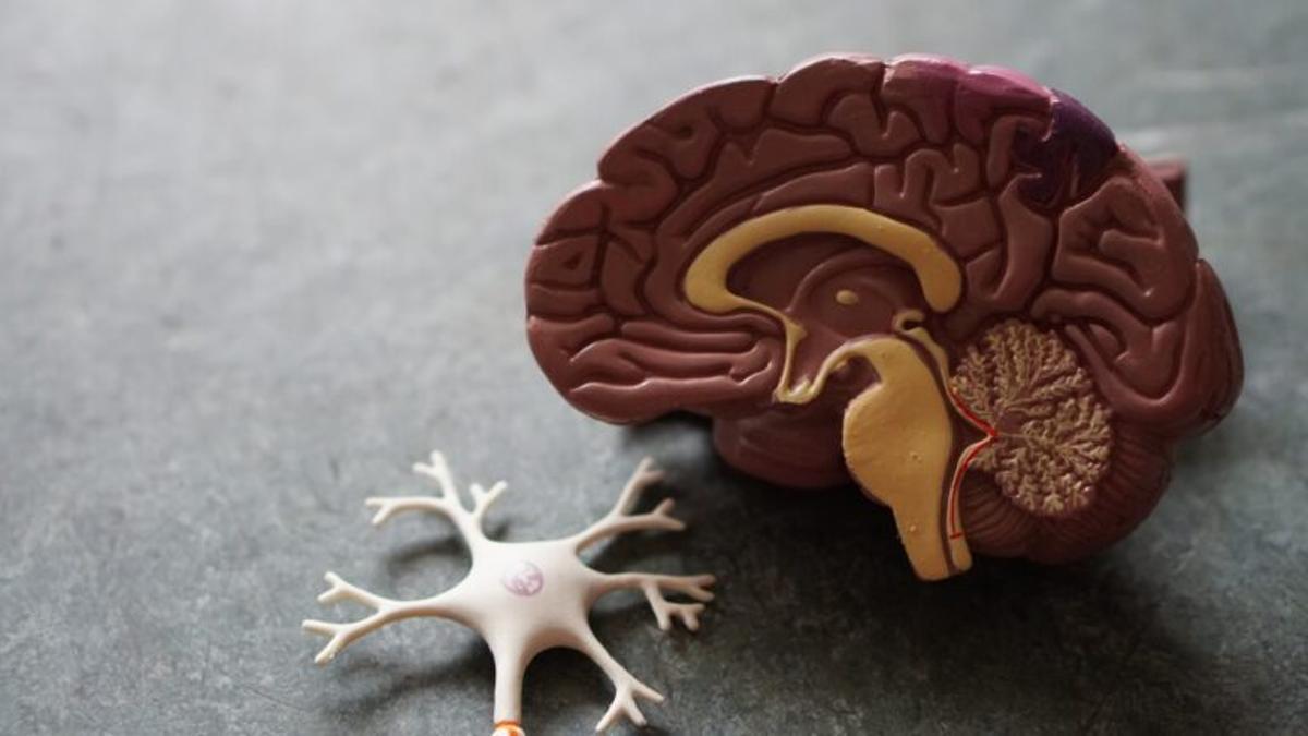 Pequeños cerebros de laboratorio maduran igual que los humanos