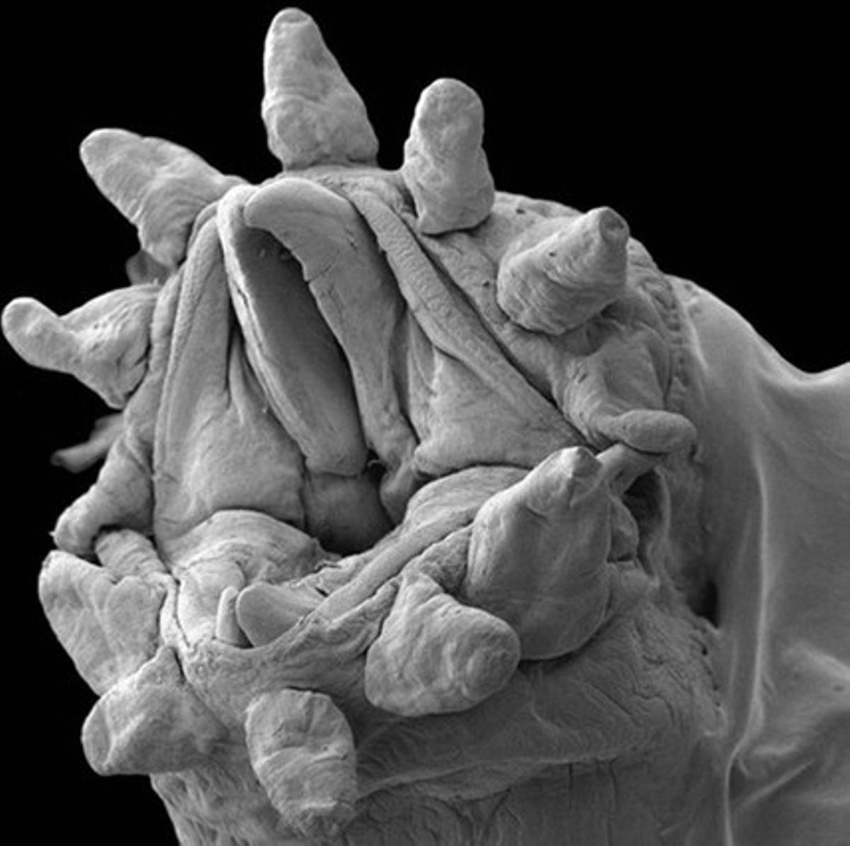 La boca de un ácaro visto con un microscopio electrónico.