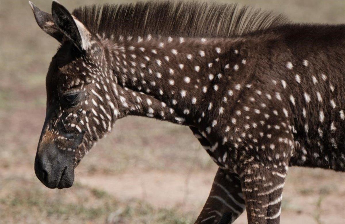 Una cebra con puntos en una reserva deKenia