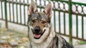 Un perro lobo checoslovaco, un híbrido de Pastor Alemán y Lobo resultado de un experimento del ejército de la antigua Checoeslovaquia.