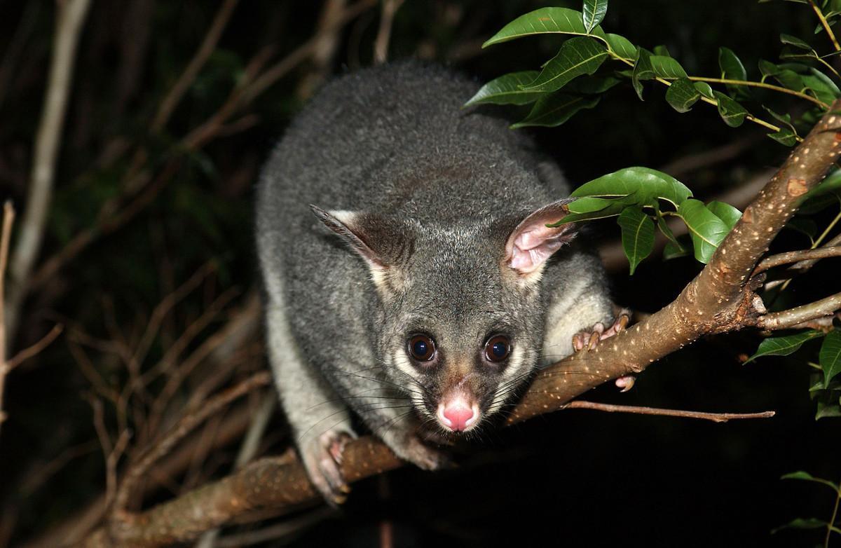 En la imagen, una zarigüeya, una de las especies que el Gobierno de Nueva Zelanda plantea eliminar antes del 2050.