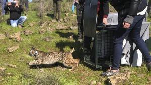 Uno de los ejemplares de linces ibéricos criados en cautividad siendo liberado en la zona del río Matachel (Badajoz) como parte del proyecto Life Lynx Connect para la reinserción y protección de esta especie en peligro de extinción.