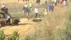 Fotograma del vídeo difundido por PACMA en el que muestra la muerte del toro atropellado en Guadalajara.