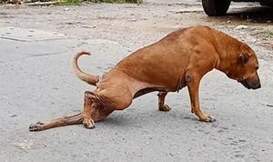 Una gossa fingeix estar coixa per cridar l'atenció de les persones i aconseguir menjar