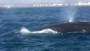 Ballenas avistadas en la costa de Barcelona.