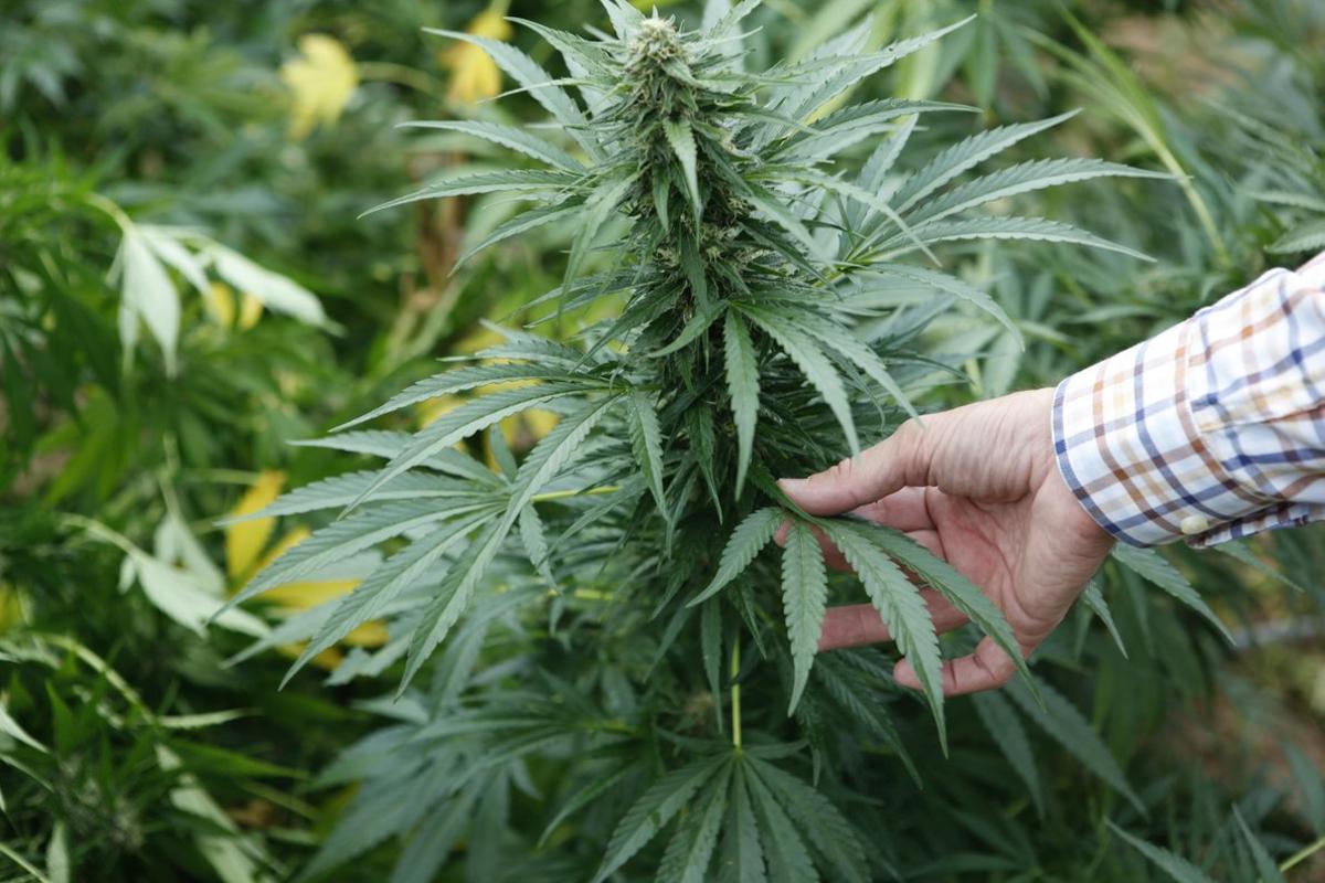 Imagen de archivo de una planta de marihuana