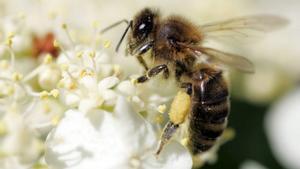 Una abeja polinizadora recolecta polen.