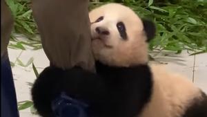 Fu Bao, el panda bebé.