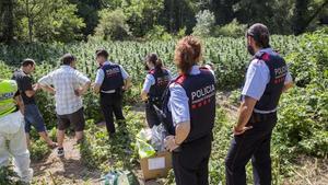 Els Mossos temen que les màfies de la marihuana corrompin els poders públics