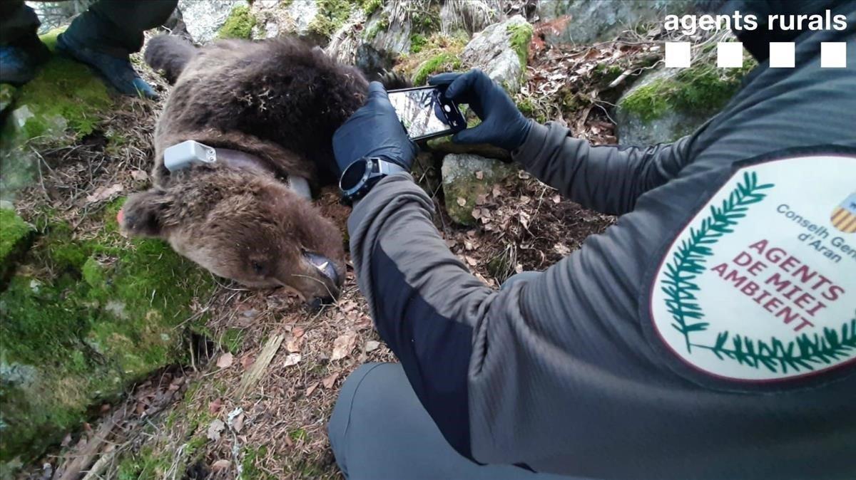 Uno de los agentes rurales que han encontrado muerto al oso Cachou saca fotos con el cadáver del animal, el pasado día 10.