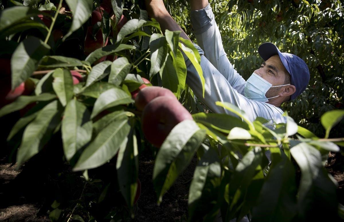 Un jornalero trabaja en unade las fincas de paraguayos deAitona (Segrià).