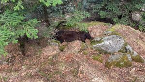 Trobat mort l'os Cachou al Pirineu lleidatà
