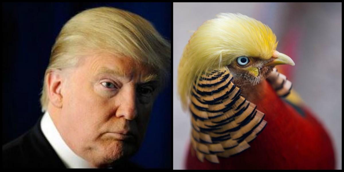 Comparativa entre el faisán chino 'Little Red' y el presidente estadounidense Donald Trump. GETTY IMAGES / REUTERS
