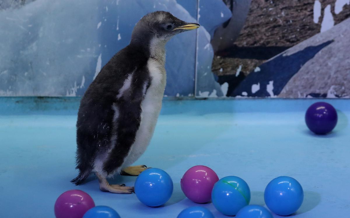 Alex, pingüino antártico de México