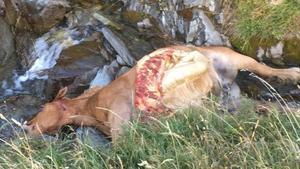 La yegua muerta tras el ataque del oso Cachou en la noche del miércoles al jueves