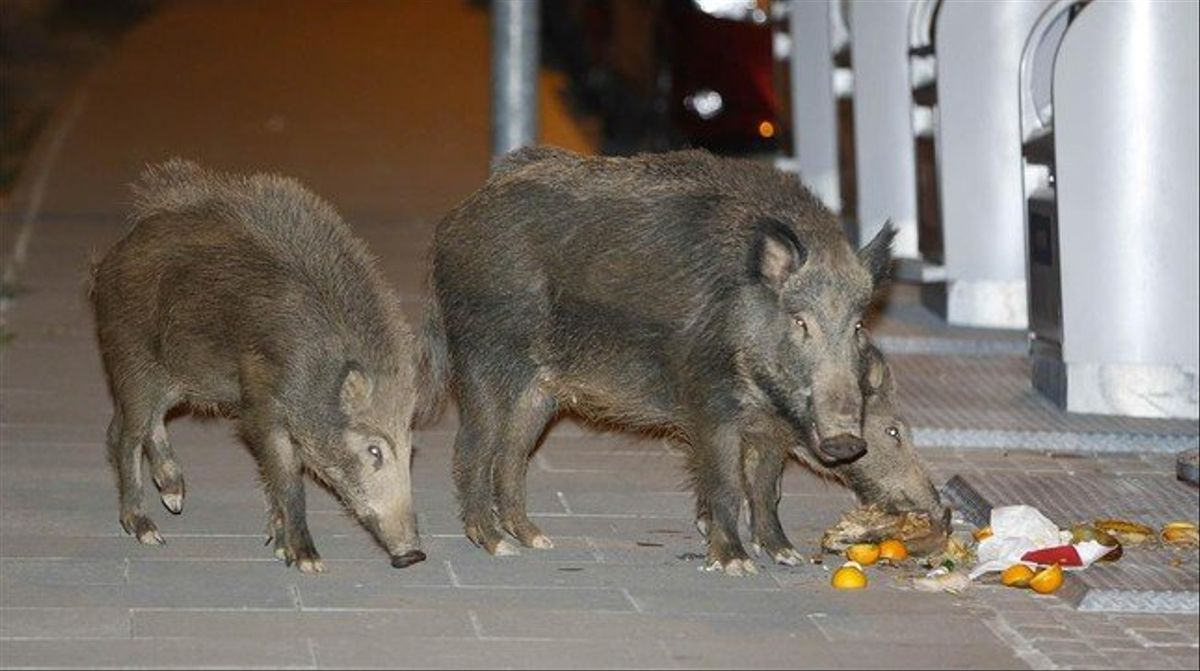 Jabalies se pasean a medianoche por el barrio de Mirasol