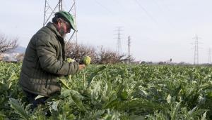 Albert Bou, agricultor en el Baix Llobregat, recoge las alcachofas plantadas en sus huertos de El Prat.