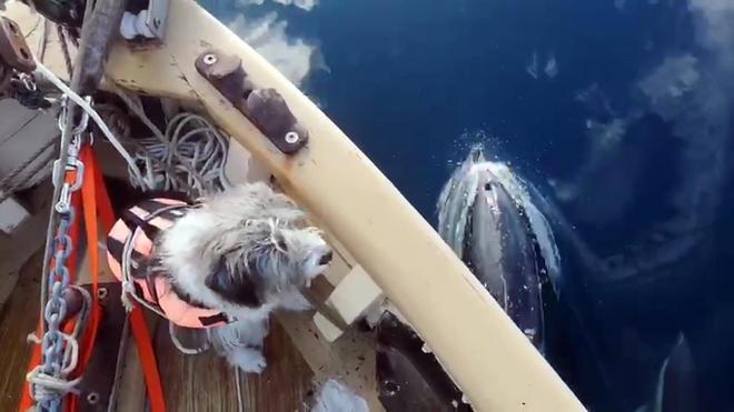 Nirvana avista un grupo de delfines durante el viaje a Barcelona desde Galicia del 'Ría de Ferrol'.