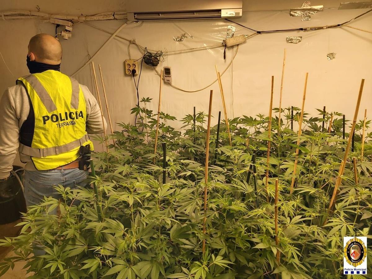 Plantación de marihuana en Terrassa