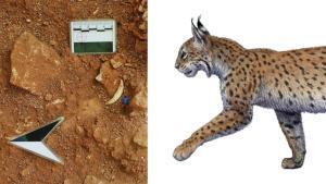 A la izquierda, un canino de Canino de Lynx pardinus hallado en el yacimiento de Quibas, Murcia. A la derecha, reconstrucción artística del lince ibérico que vivió en la Sierra de Quibas hace un millón de años.