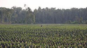 Trabajadores en una plantación de palma africana en Katingan (Indonesia), en la isla de Borneo.