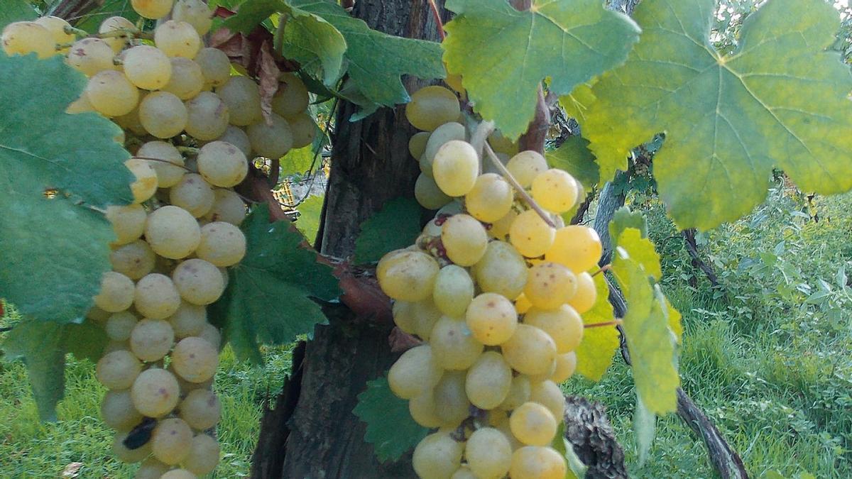 Uva de la variedad catalanesca