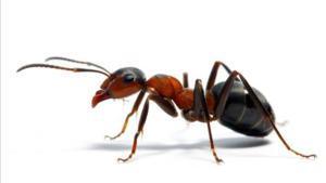 Las hormigas fabrican antibióticos que podrían aplicarse a los humanos