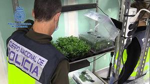 Desmantelado un cultivo con 61.000 plantas de marihuana