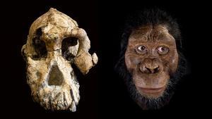 El hallazgo de un cráneo demuestra que la especie de Lucy no vivió sola