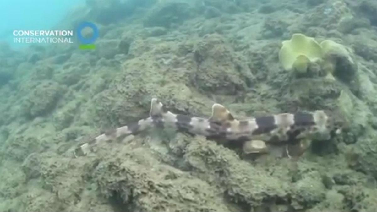 Descubiertas cuatro nuevas especies de tiburones que caminan sobre sus aletas