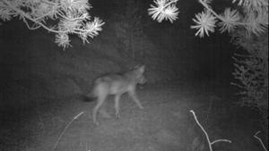 Imagen del lobo captada por las cámaras de fototrampeo.
