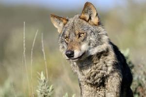 La caza del lobo estará prohibida en toda España