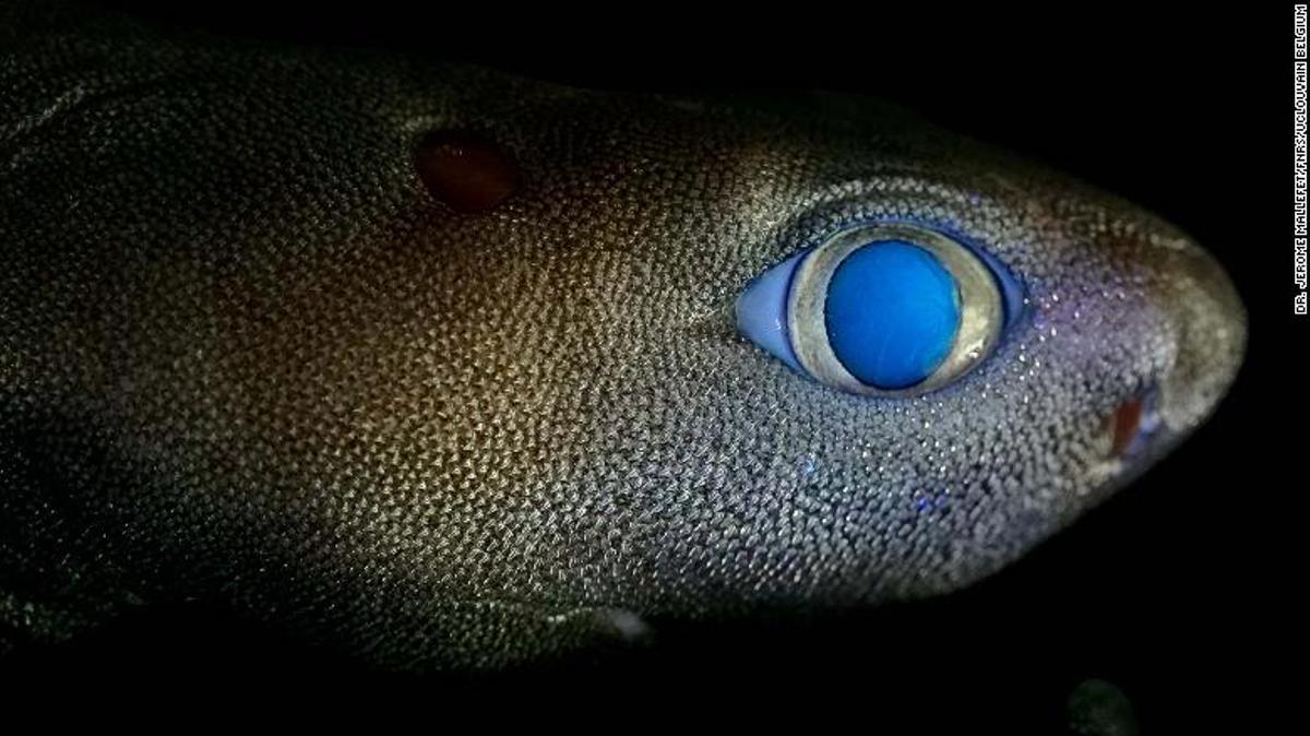 Tiburón luminoso hallado en aguas de Nueva Zelanda.