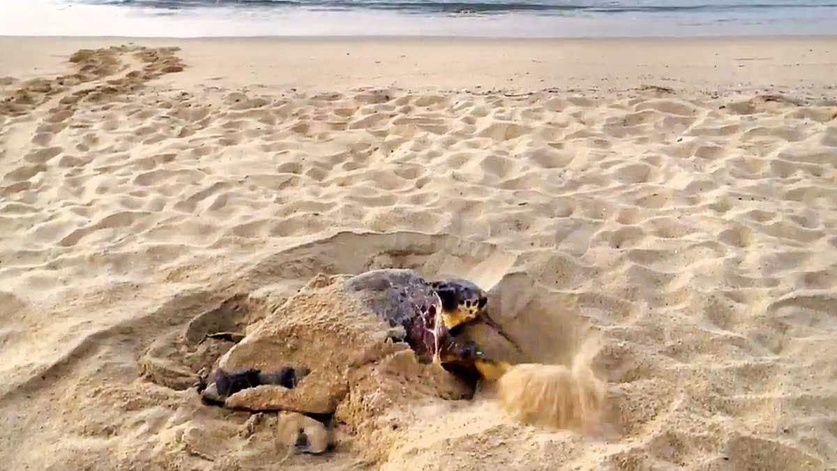 Una tortuga boba haciendo una puesta de huevos en la playa de Premià.