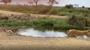 Una gacela Thompson esquiva el ataque de una leona en el Serengeti (Tanzania).